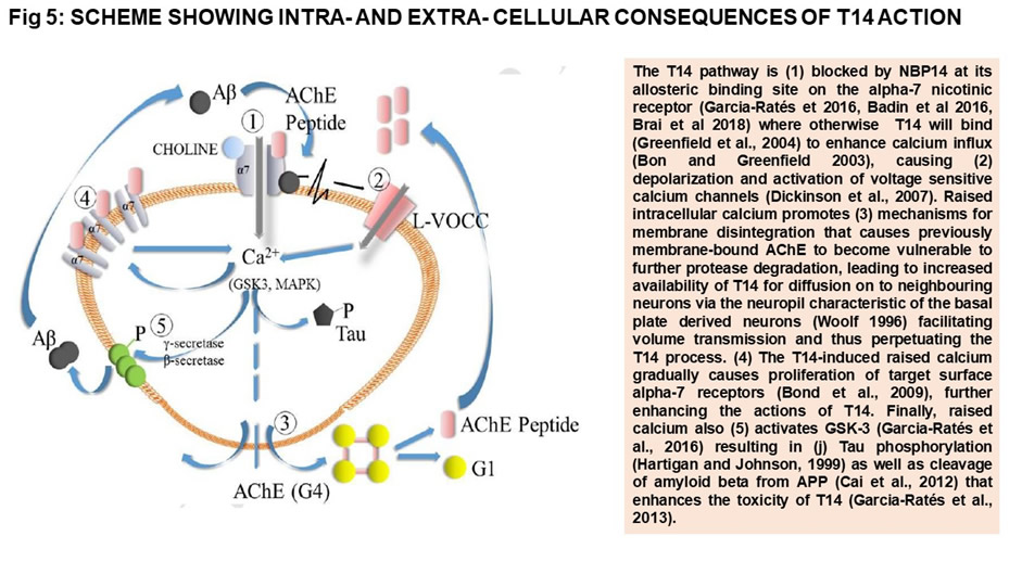 Cellular consequences of T14